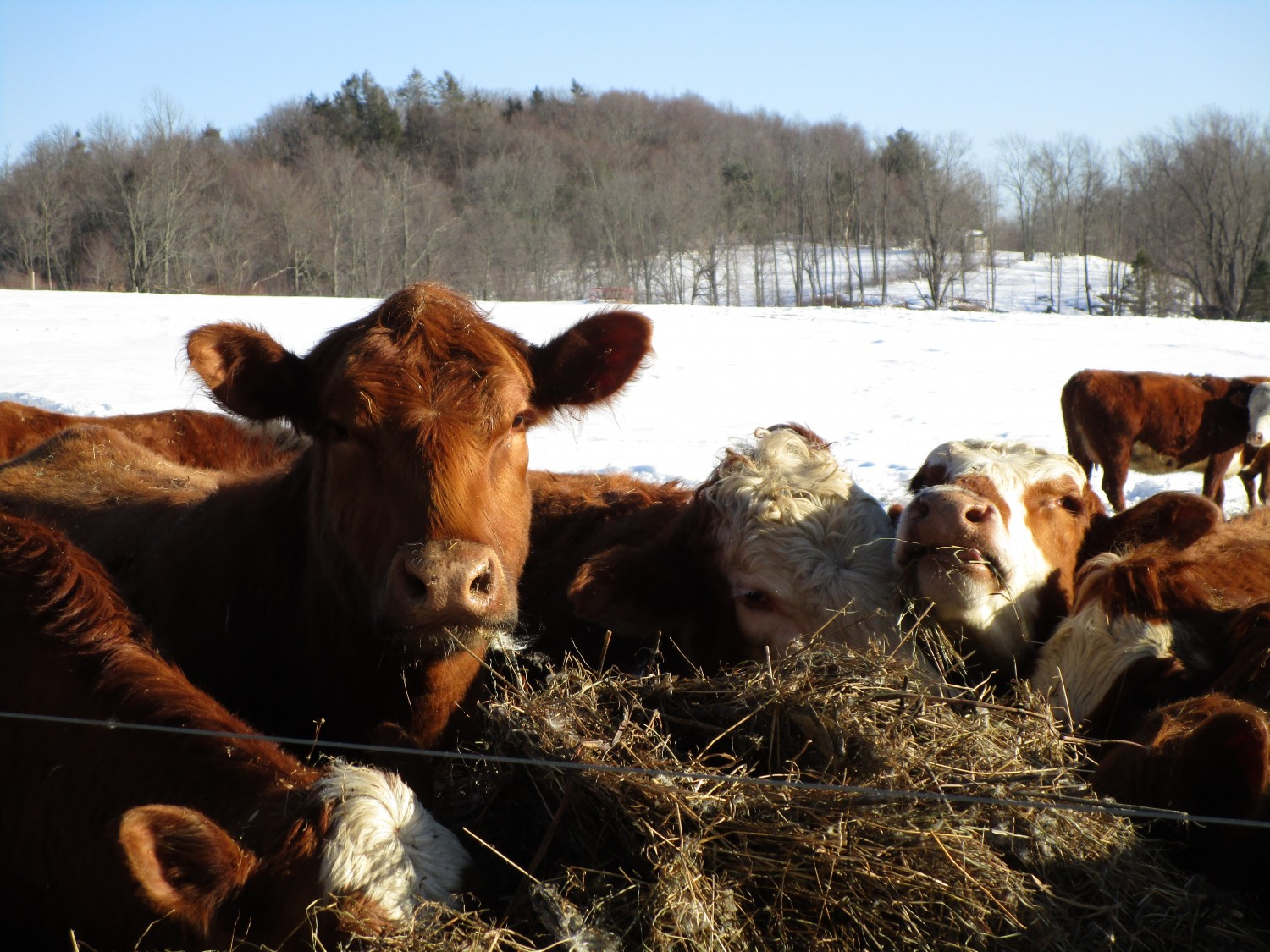 Cows - Image by Shayna Benskie