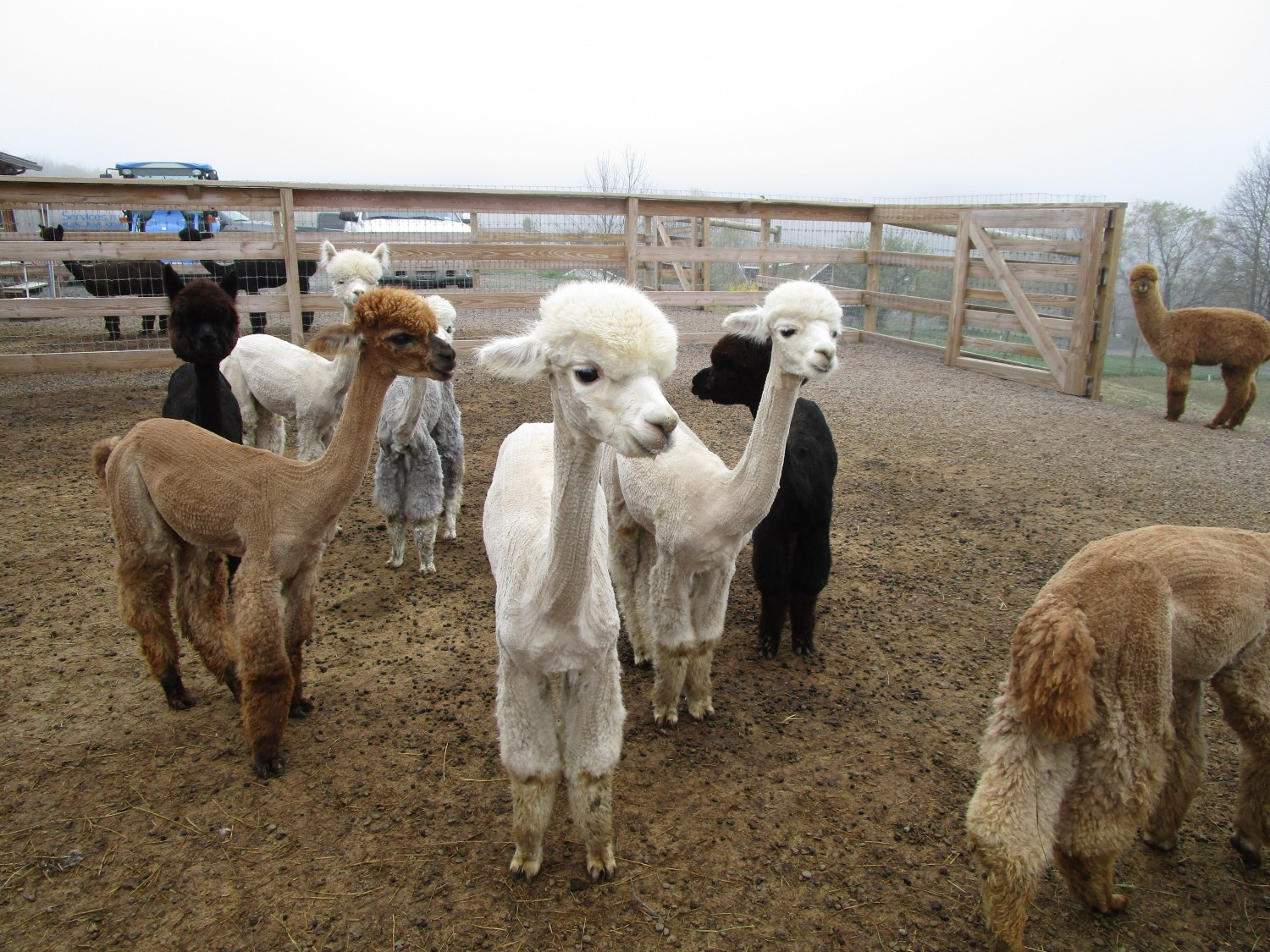 Alpacas - Image by Shayna Benskie